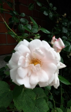 fleurs de juin (8)