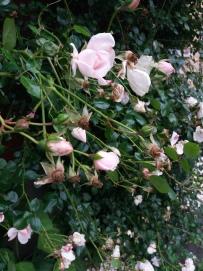 fleurs de juin (7)