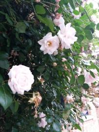 fleurs de juin (6)