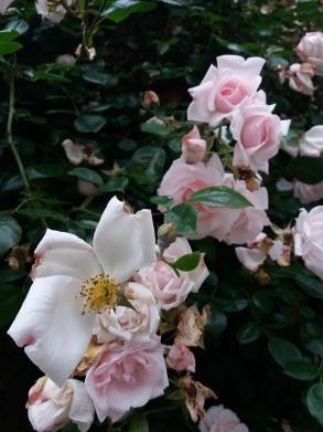 fleurs de juin (5)