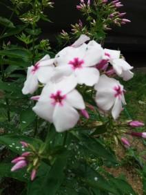 fleurs de juin (1)