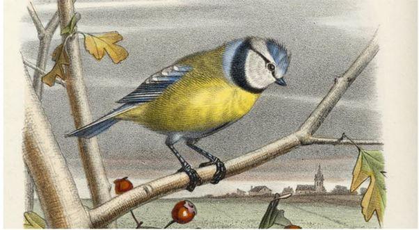 mésange bleue_bnf 1868